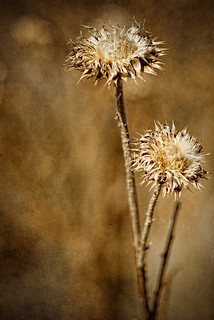 Fall Thistles | by Julie Rideout