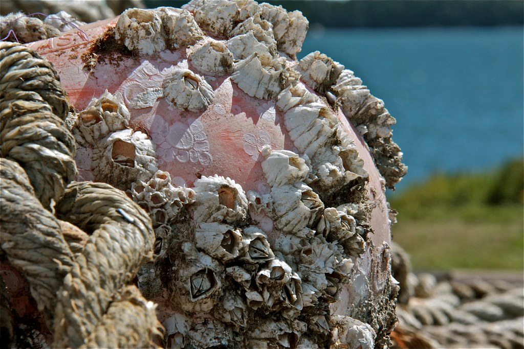 Barnacles | On an old float. The Dolphin Marina, Harpswell ...