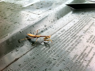 The praying mantis wishes she had paid more attention in Spanish class | by punkwalrus
