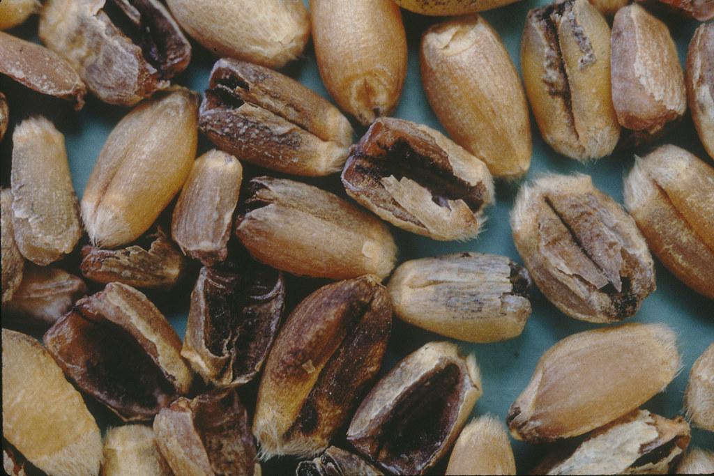 Wheat diseases - Howling Pixel