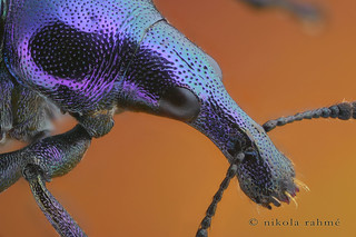 Weevil close-up (Byctiscus betulae) | by Nikola Rahme
