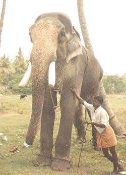 Late Kandampully Balanarayanan | The Tallest Elephant of ...