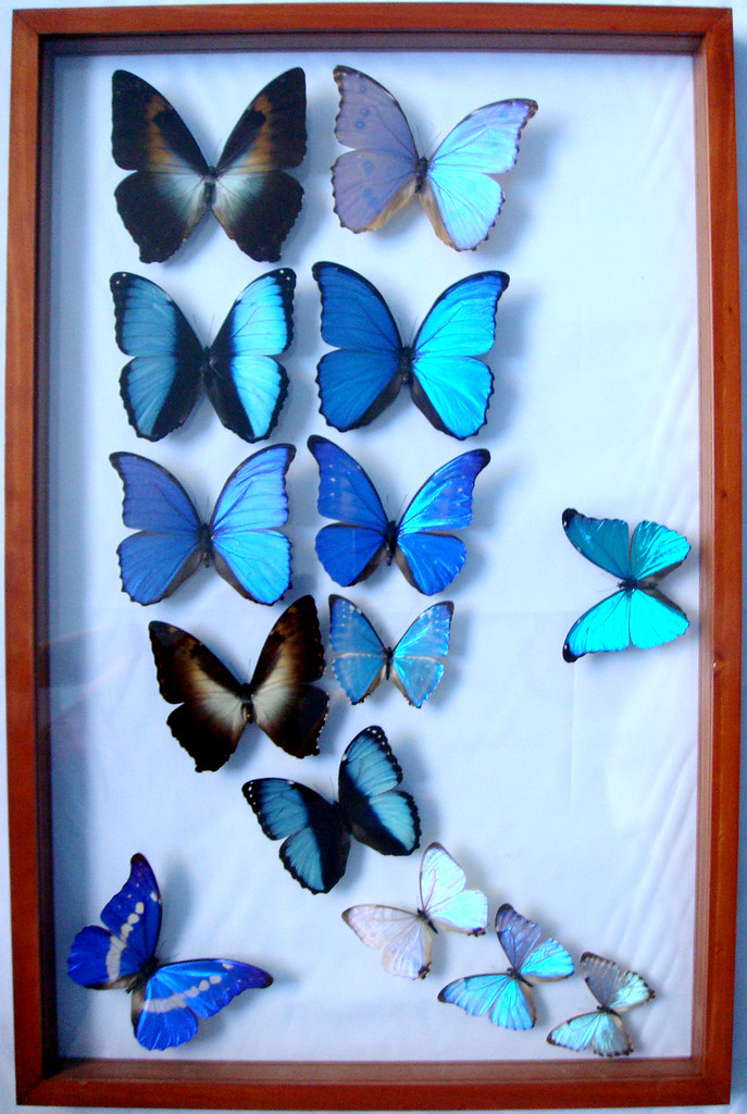 ... Blue Morpho Attack Framed Butterflies Mounted Art For Home Decor | By  Ben The Butterfly Guy