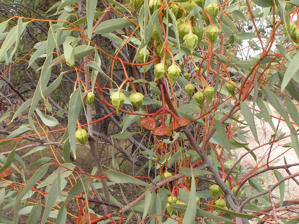 Eucalyptus pyriformis (Pear-fruited Mallee; Dowerin Rose ...