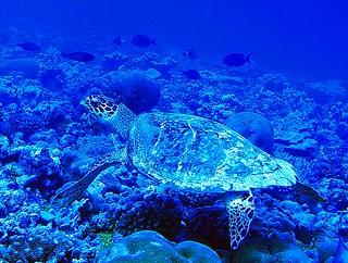 Hawksbill Turtle | by USFWS Pacific
