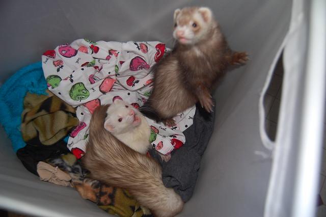 Laundry basket full of ferrets!