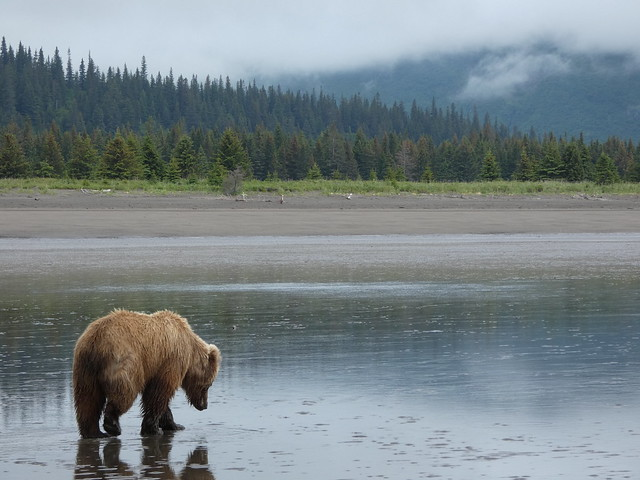 Oso en una playa de Lake Clark National Park de Alaska
