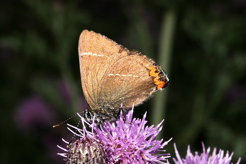 White Hairstreak 39803