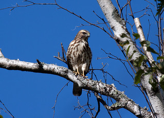 Broad-winged Hawk | by Laura Erickson