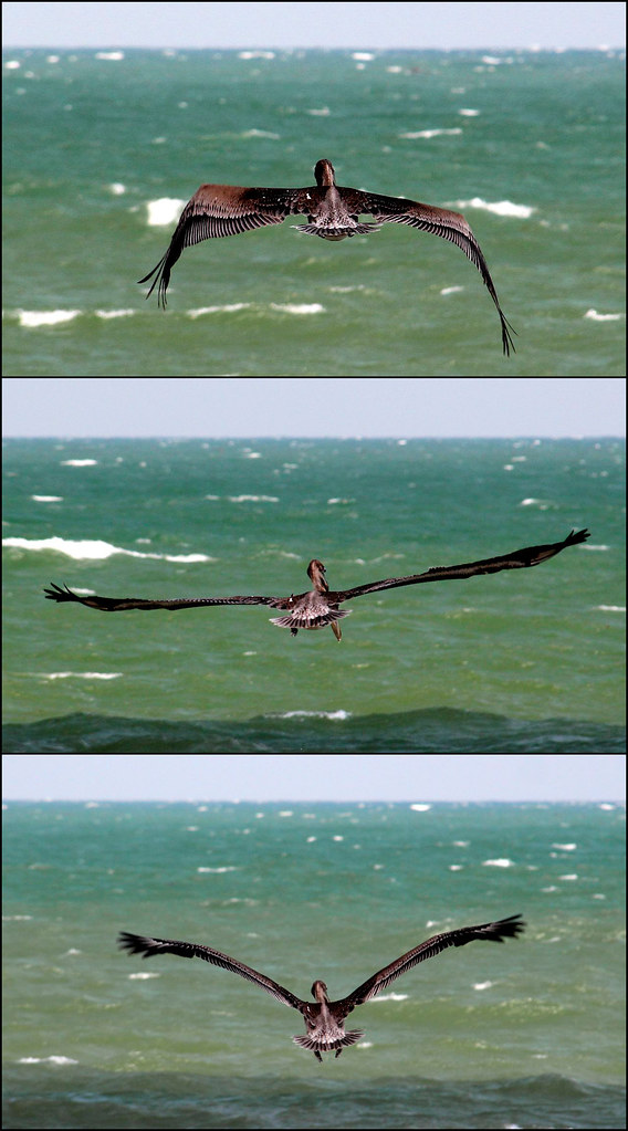 Triptych Photography Flickr Pelican Triptych Flickr