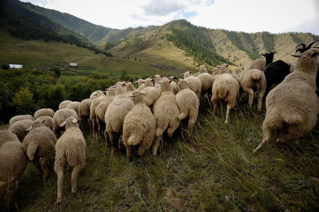 altay sheep running away