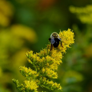 Bumblebee on Goldenrod #1 | by Dendroica cerulea