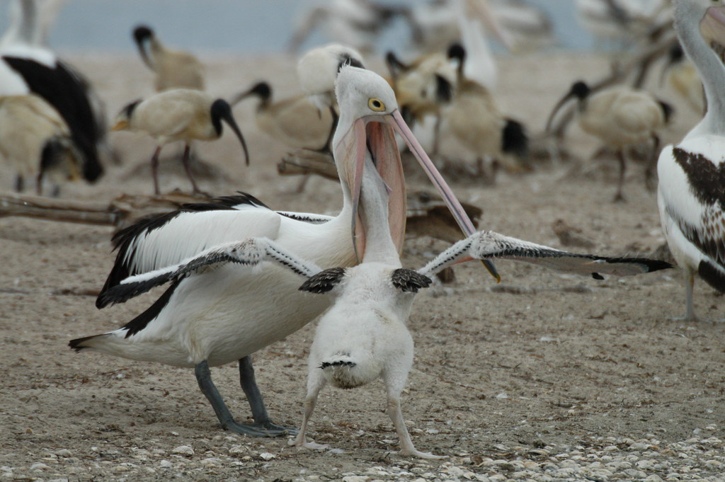 Risultati immagini per pelican feeding chicks