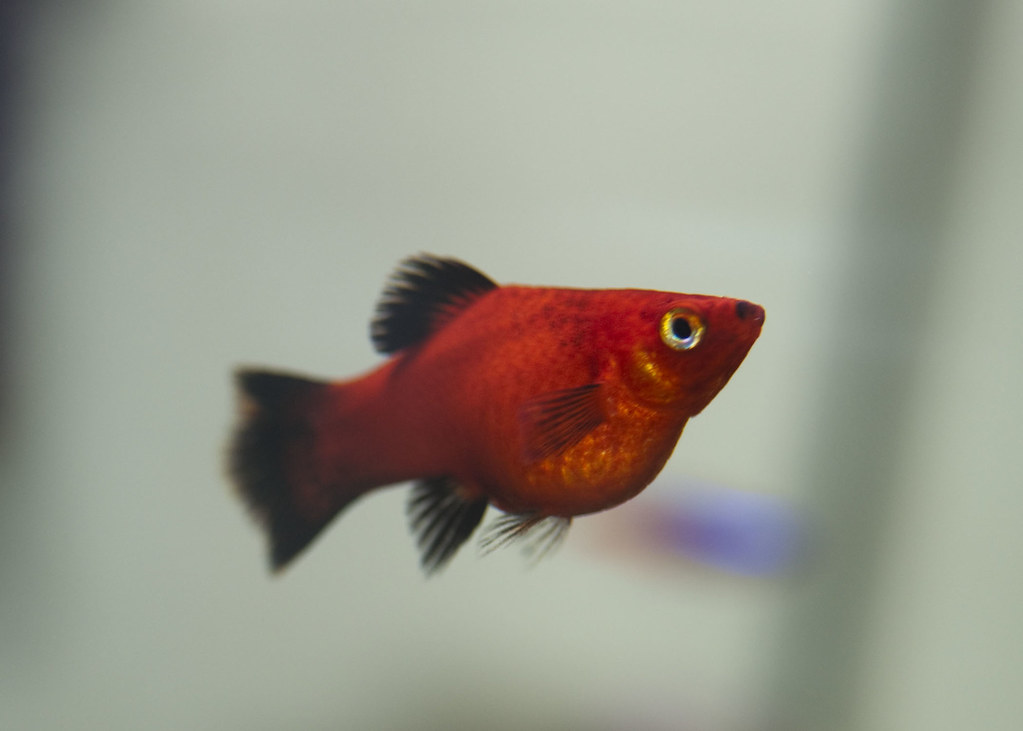 Female red wag platy this is big momma she 39 s popped for Girl fish names