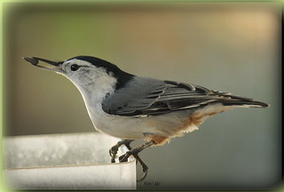Whitebreasted Nuthatch | by SarahC928