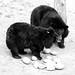 MATILDA LEFT, BOTTOM ON RIGHT , MOONBEARS AT ANIMALS ASIA FOUNDATION