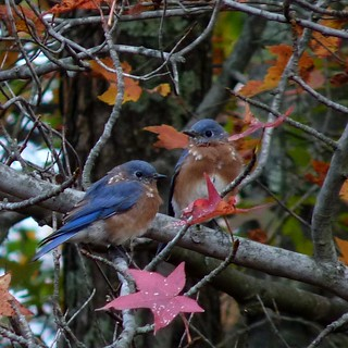 Eastern Bluebirds | by Dendroica cerulea