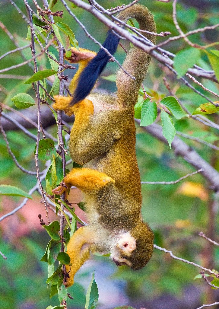 Upside Down Hanging Monkey Squirrel Monkey Hanging Upside