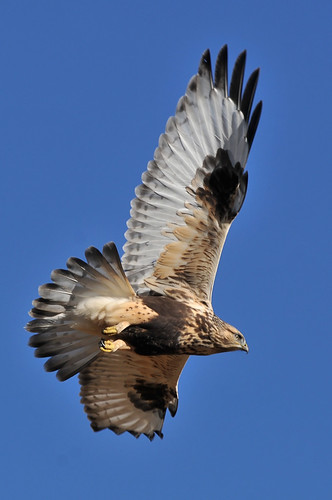 Rough-legged Hawk in Flight DSC_1776 | by Ron Kube Photography