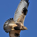 Rough-legged Hawk in Flight DSC_1776