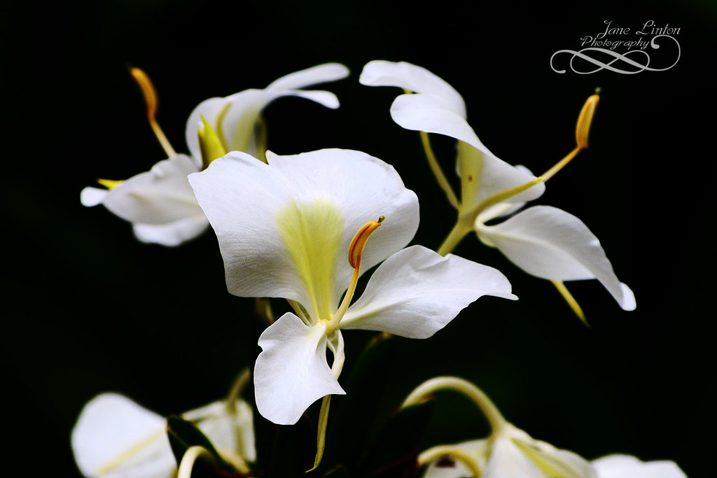 White Ginger Lily I Photographed This One In Southern Miam Flickr