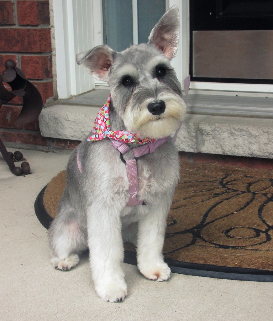 Molly The Schnauzer Just A Baby Girl Schnauzer That