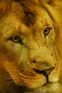 WWPWL-Lion | by Laura Covey