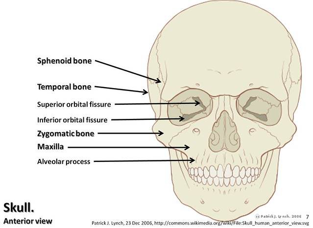 Skull Diagram  Anterior View With Labels Part 2