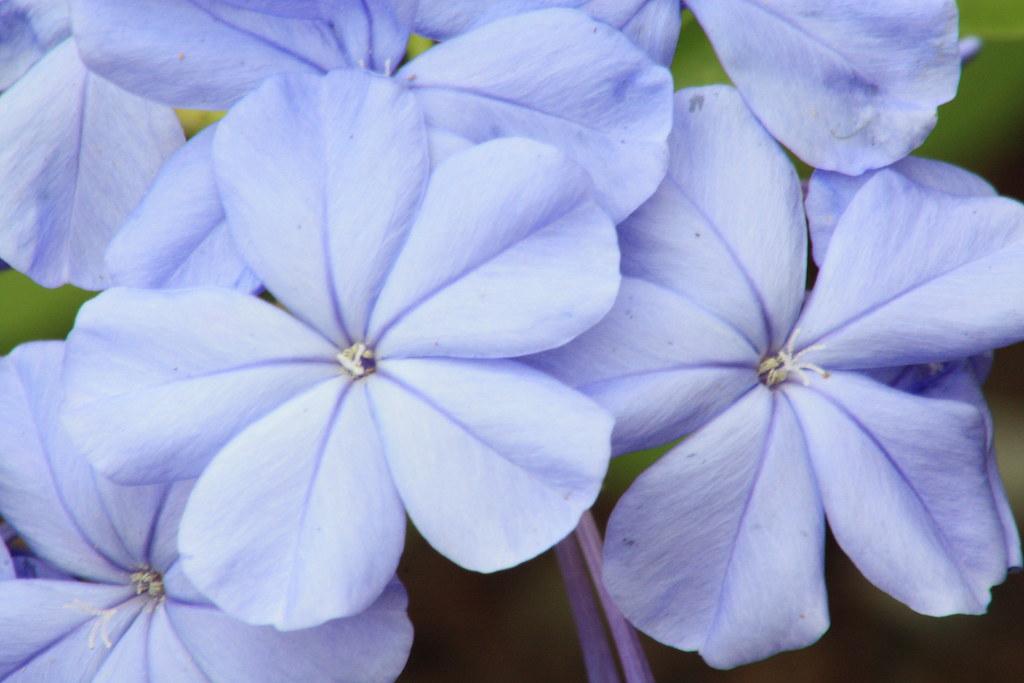 blue or purple flowers