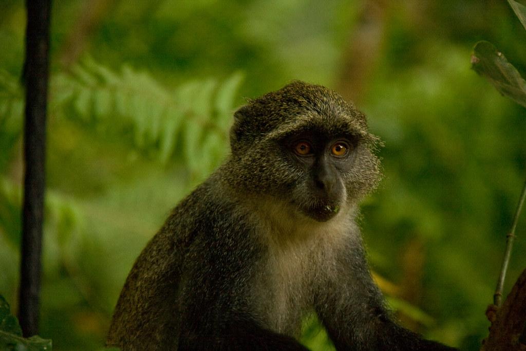 Zanzibar Sykes' Monkey...
