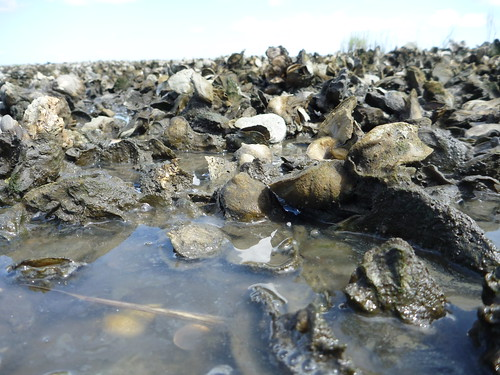 Alligator Harbor oyster reef | by wfsu.org