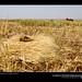 Harvested barley ready for threshing