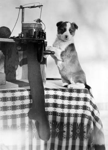 Knitting History Society : Puppy knitting a sock shsnd collection flickr