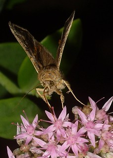 Soybean Looper Moth on Flowers | by KoolPix