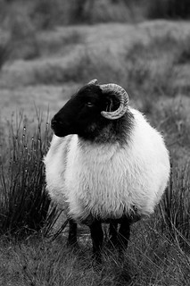 I show ewe my best side. | by ShinyPhotoScotland