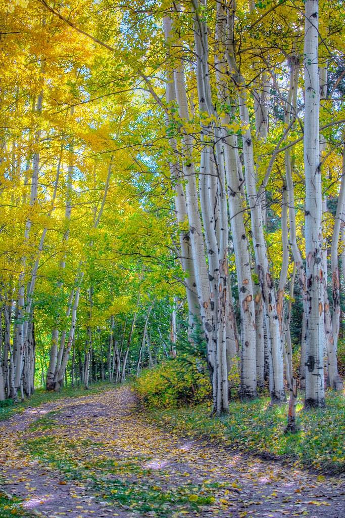 Aspens In Autumn Elk Mountain Ranch Co Morning Light