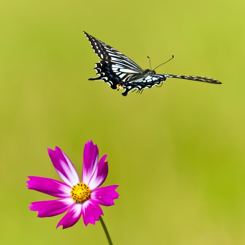 swallowtail and cosmos | by innerMt
