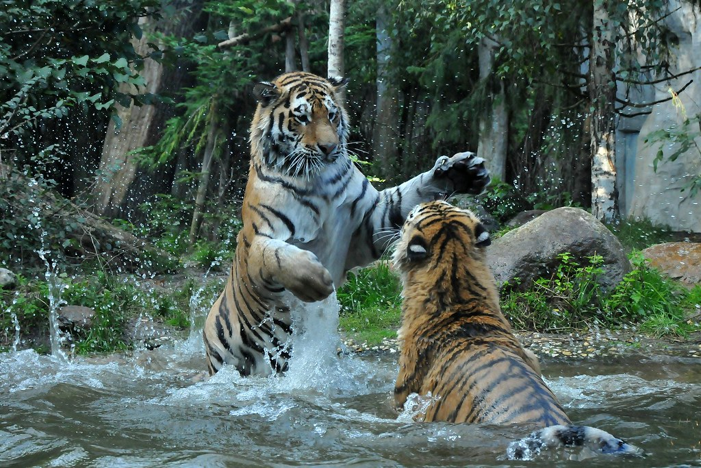 Panthera Tigris Altaica Sibirischer Tiger Im Zoo Leipzig