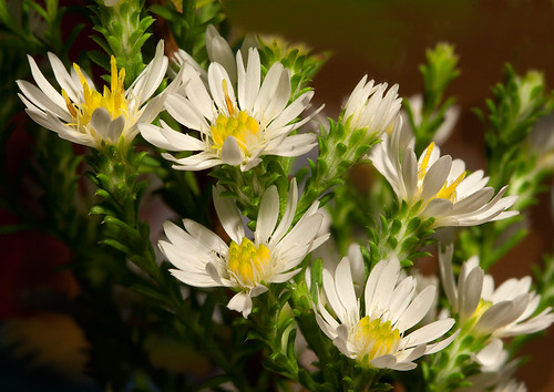 Aster pansus  Snowflurry  TeppichAster  seen in my
