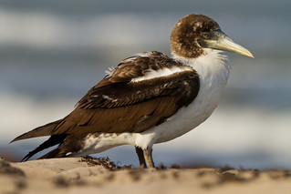 Masked Booby | by Seth Patterson