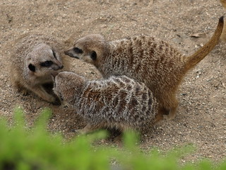 meerkatwhispers | by The Consummate Amateur