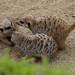 meerkatwhispers