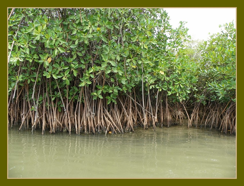 pichavaram mangrove forest indianature so flickr