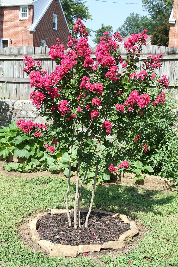 Pink Velour Crepe Myrtle Jim The Photographer Flickr