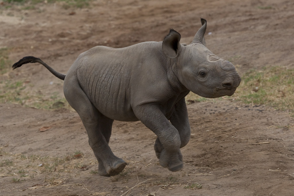 Our newest baby African black rhino born at the Park   Flickr