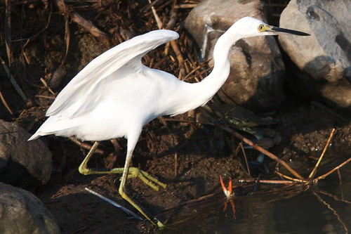 Immature great egret | by Henry McLin