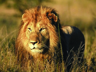 Lion | by safari-partners