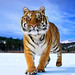 tiger_andyrouse_TG1078b_00075
