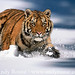 tiger_andyrouse_TG720A_00031