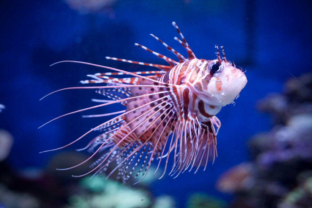 Baby Lionfish | elsief1 | Flickr